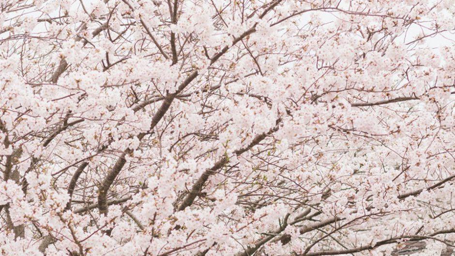 京都府立植物園で桜が楽しめる!『桜ライトアップ2018』が開催