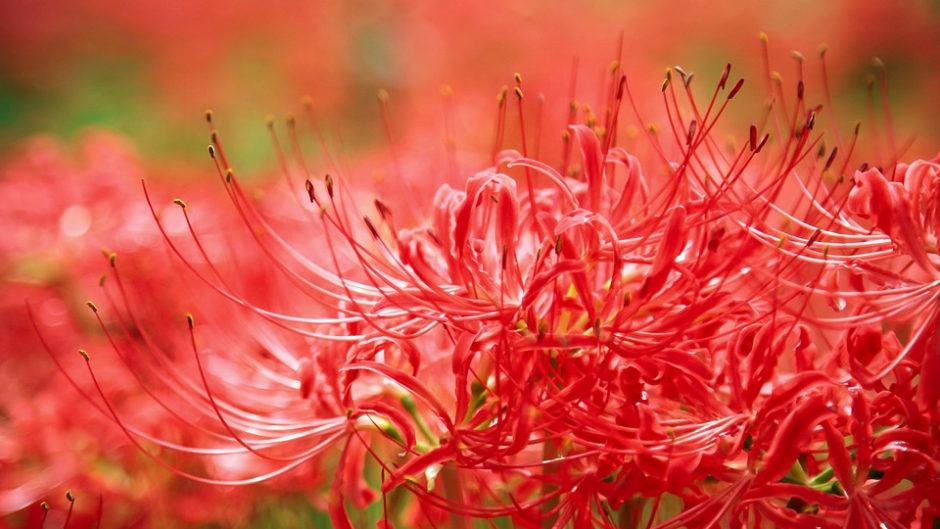 三百万本の彼岸花!ごんぎつねの町・半田で「ごんの秋まつり」開催