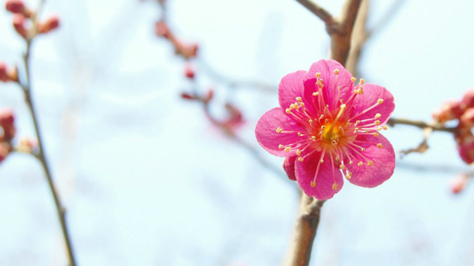 """日本一の""""早咲き""""「第75回 熱海梅園梅まつり」開催!足湯や無料の甘酒も"""