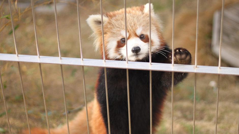 レッサーパンダの風太くんでも知られる日本平動物園で 「秋の動物園まつり」開催!