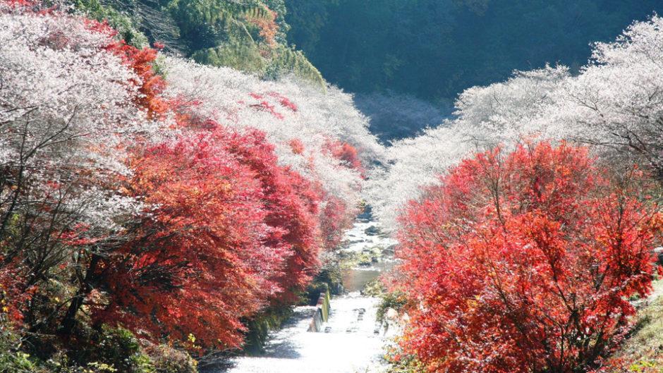 愛知の豊田で『小原四季桜まつり』が開催!秋冬に見られる幻想的な桜の花を見に行こう