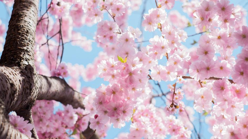 早咲の桜でほっこり♪「あたみ桜糸川桜まつり」で花見を楽しもう!