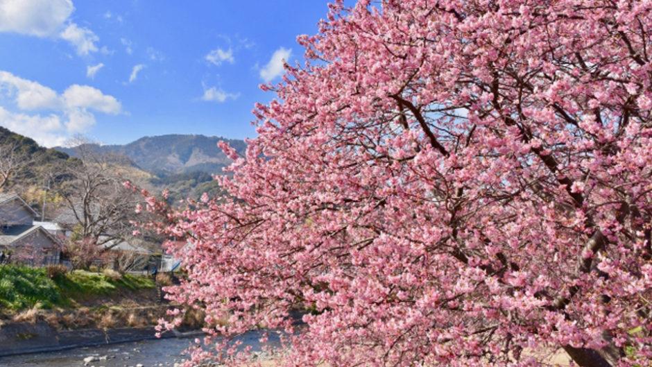 一足早くお花見♪第29回河津桜まつりへ出かけよう!