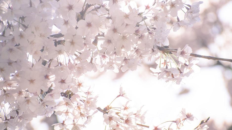 1月開花予定!「土肥桜祭り」でちょっと早めのお花見を楽しもう♪