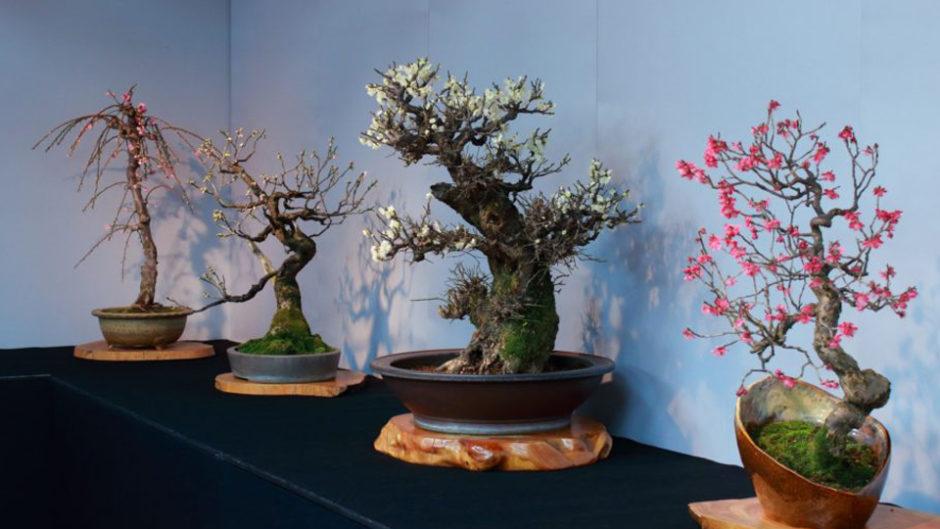 世界も認める盆栽に、梅の花をつける「盆梅展」