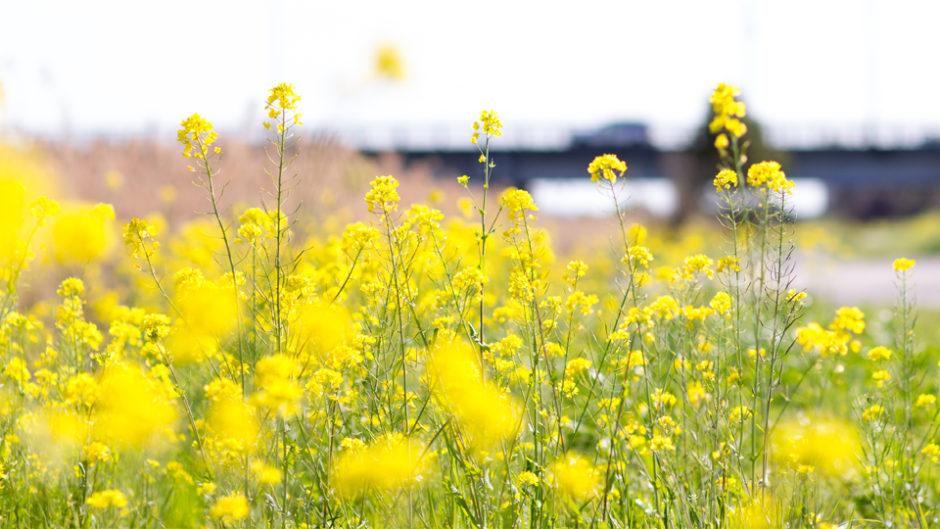 鮮やかな黄色に春の訪れを感じる!渥美半島菜の花まつり2019を楽しもう♪