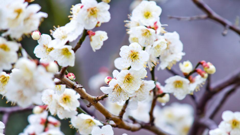 200本の梅の花が乱れ咲き!葵梅林で春を感じよう♪