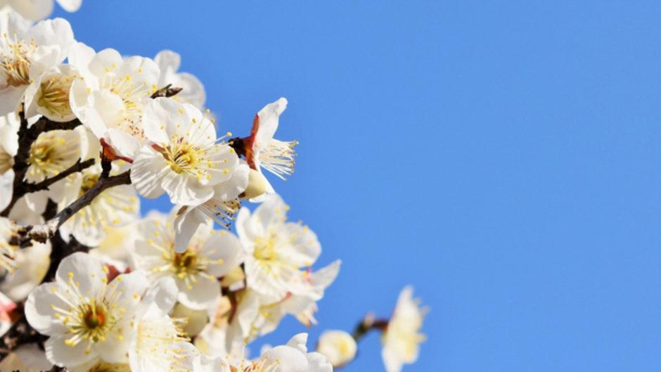 なばなの里で『梅・しだれ梅・河津桜まつり』が開催中!一足はやく春を楽しもう♡