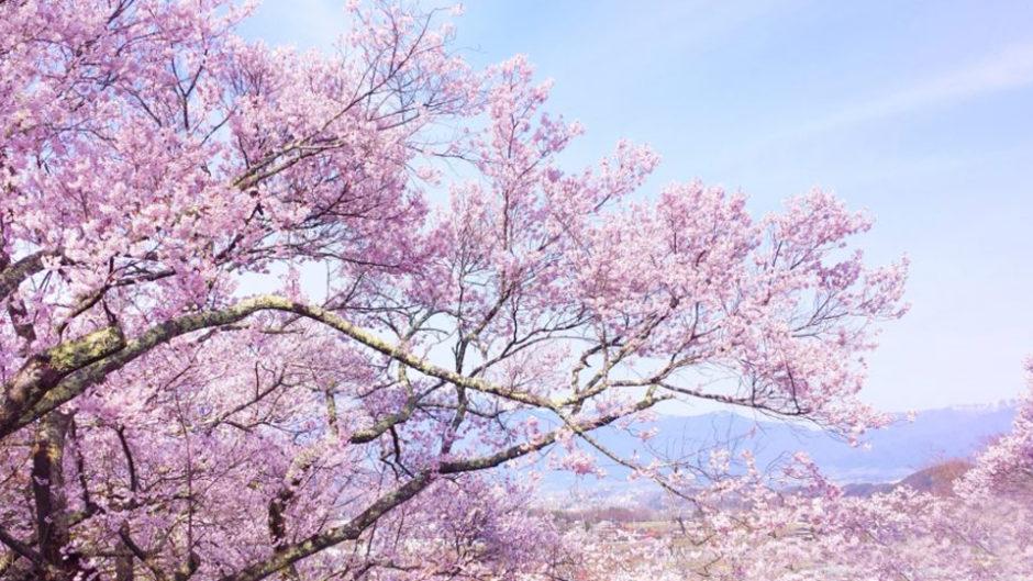 桜に屋台にマルシェまで!楽しみつくす明石公園の桜まつり