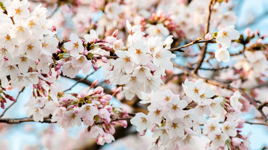 3月16日(土)オープン!恵那峡ワンダーランドで桜まつりを開催