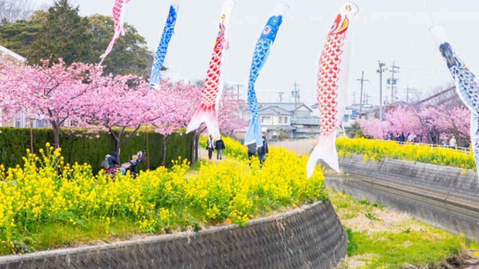 菜の花と桜のコントラストが美しい!免々田川 菜の花・桜まつりへでかけよう!