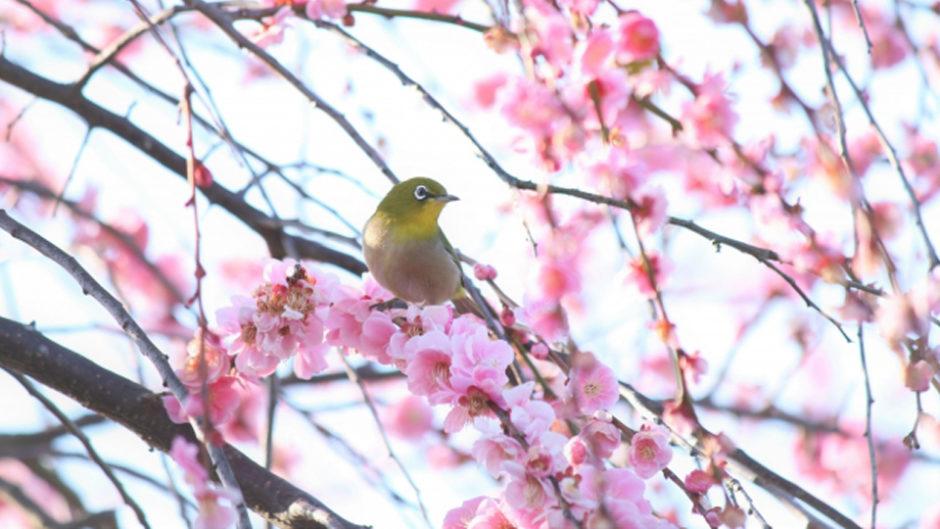 一足早い春を感じよう!名古屋市農業センターdelaふぁーむで開催!しだれ梅まつり