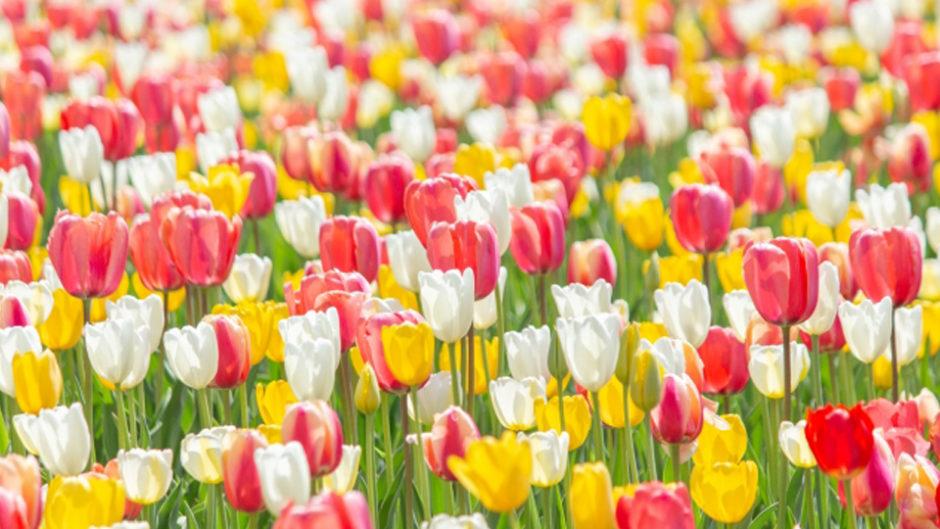 富士山の裾野 天空の花畑『2019 天空のチューリップ祭り』が4月から開催予定!