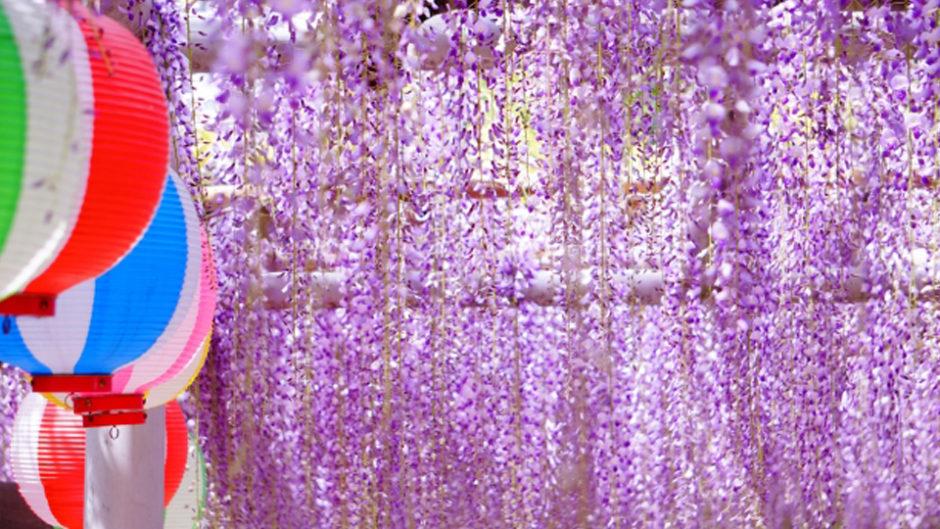 美しく広がる藤色のカーテン。岡崎市「五万石藤まつり」で藤とその香りを楽しむ!