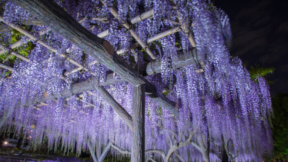 ライトアップは幻想的♡津島天王川公園の藤棚を楽しもう♪