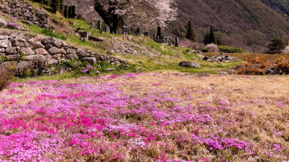 7種類約40万株の花畑!茶臼山高原で「芝桜まつり」開催