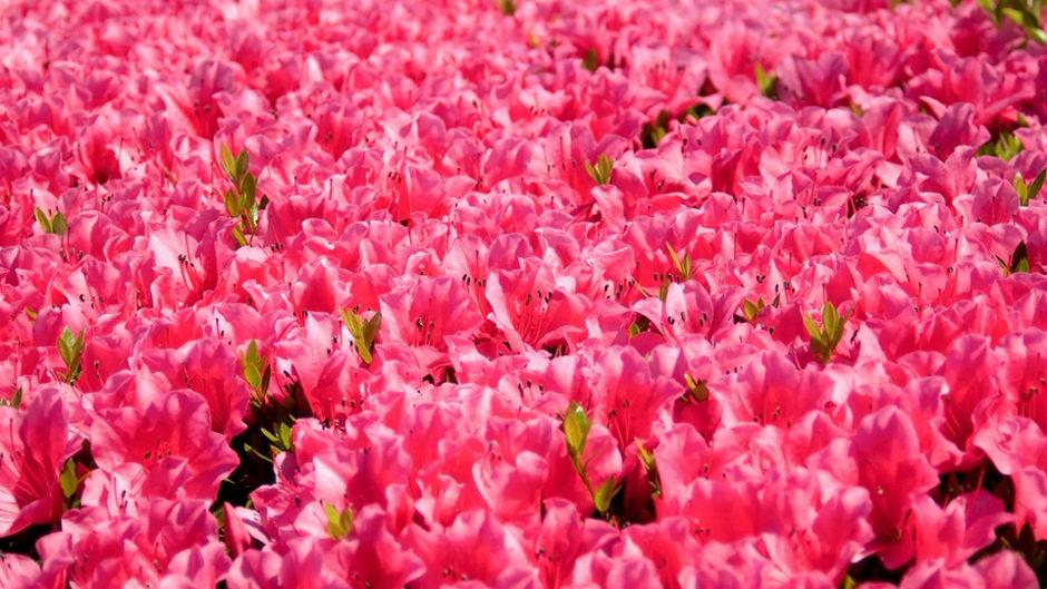 小室山公園で『小室山公園夜つつじ散歩』が開催!真っ赤なつつじの絨毯を見に行こう!