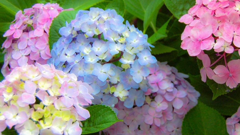 あじさいまつりin Flower Lagoon