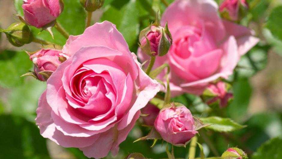 バラの新たな発見も!花フェスタ記念公園「春のバラまつり2019」