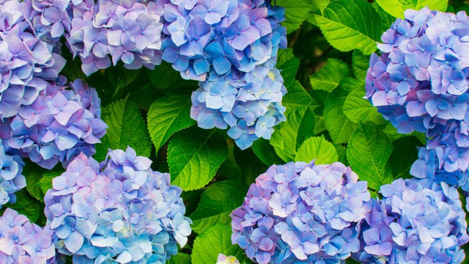 6月は紫陽花の季節!蒲郡で「形原温泉 あじさい祭り」開催