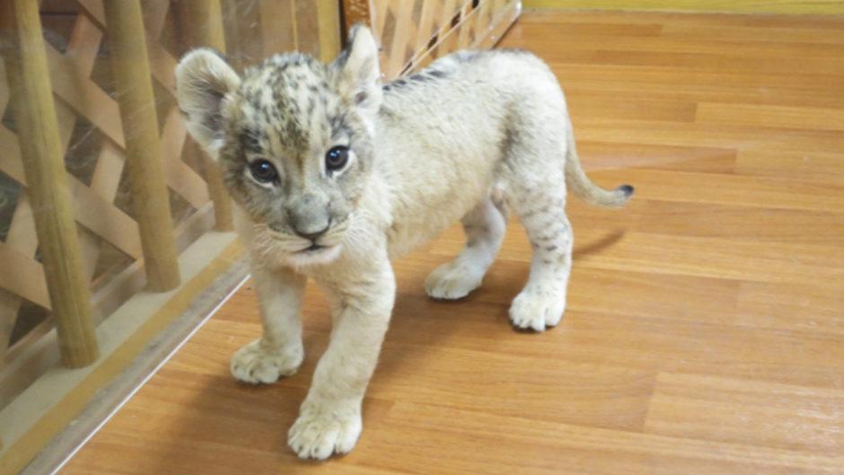 みんな大好き!ライオンの赤ちゃんに会える☆富士サファリパークの『ライオンの赤ちゃんイベント』