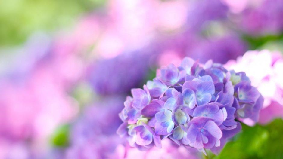 色も香りも美しい。そろそろ海津市「月見の森」のアジサイが見ごろです。