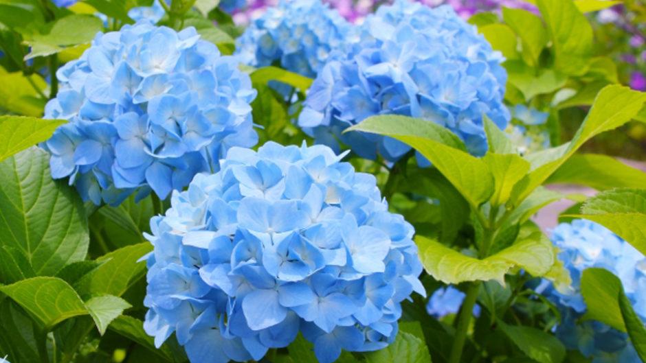 梅雨&初夏のお出かけは「三島スカイウォーク あじさい祭」へ♡170種のあじさい&あじさいスイーツがお出迎え♪