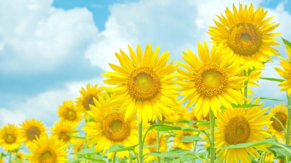夏はスキー場のゲレンデが黄色に染まる!「アルコピアひまわり園」