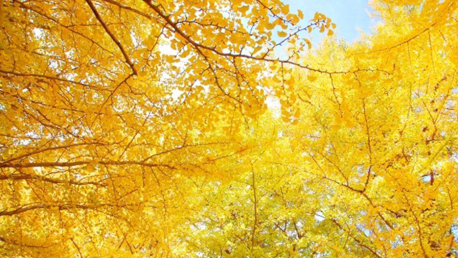 「第22回そぶえイチョウ黄葉まつり」開催!祖父江町を黄金色のイチョウが染める