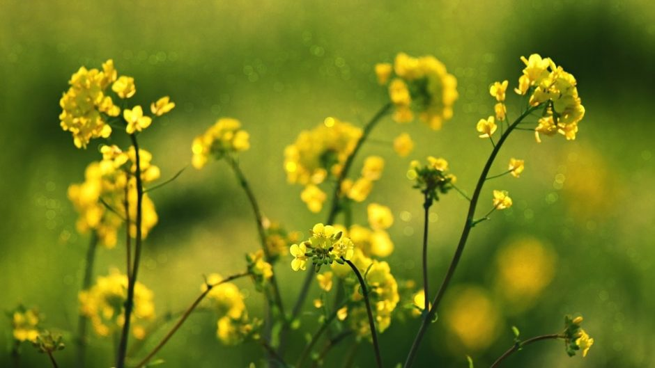 一面の黄色い花畑でミツバチ気分♪「渥美半島菜の花まつり2020」開催