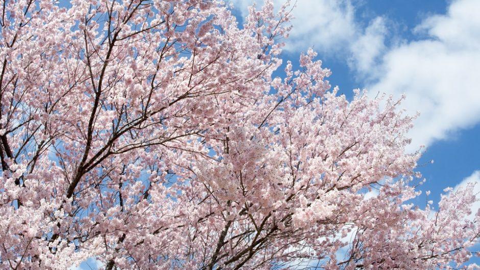 2月10日(月)~3月10日(火)は『第30回 河津桜まつり』!早咲きの「河津桜」でお花見を堪能♡
