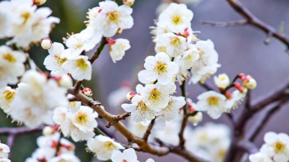 梅の香りに誘われて♪東海エリア最大級!いなべ市農業公園「梅まつり」