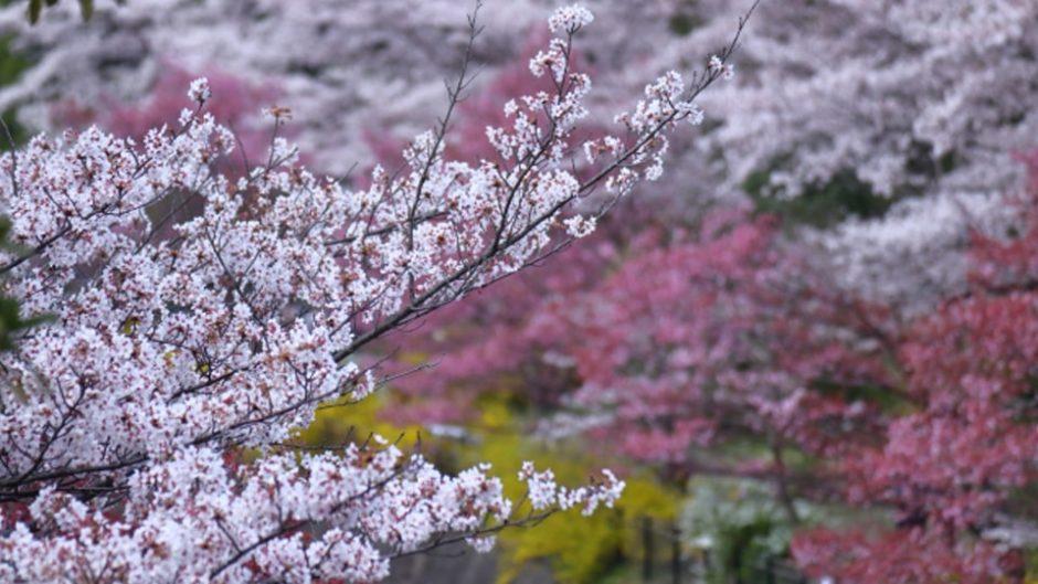 2月8日(土)~3月8日(日)は『修善寺 梅まつり』!修善寺梅林の梅の花にうっとり♡