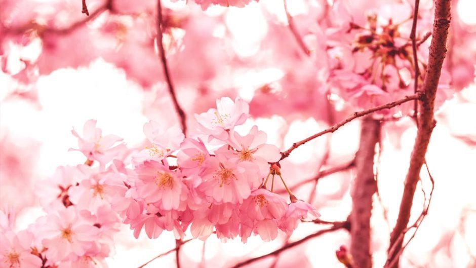 U-1グランプリも!【3/29】岐阜県岐阜市鶉(うずら)で桜まつりが開催!!