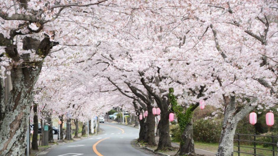 『伊豆高原桜まつり』開催!大寒桜や桜の街道&トンネルで春を満喫♡