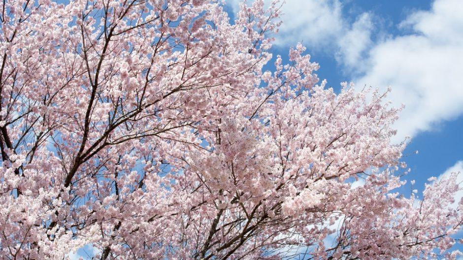春爛漫の楽しい催しがいっぱい!「138タワーパーク さくら祭り」