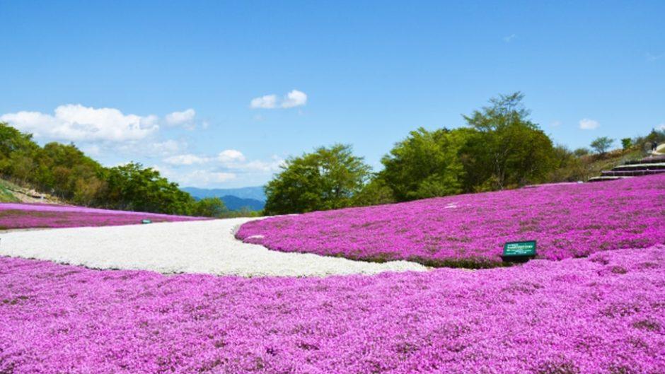 茶臼山高原で『芝桜まつり』が5月9日より開催!一面の花畑で春を満喫しよう