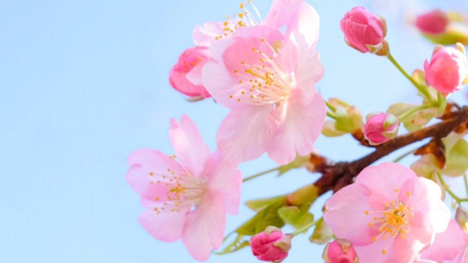 東海最大級の「桜のトンネル」は圧巻♡『第42回 金比羅山・瀬戸川桜まつり』が藤枝市で開催!