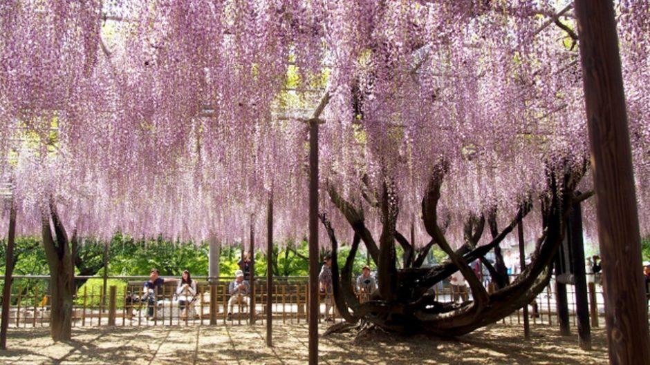 圧巻の藤棚!岡崎公園の「五万石藤まつり」