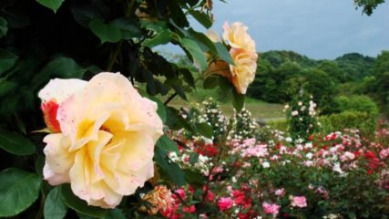 今年も花フェスタ記念公園が、みなさんを待ってますよ!!