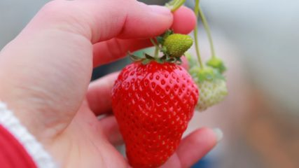 静岡市【ストロベリーフィールド】時間無制限&食べ放題!ゆっくりイチゴを楽しもう!!