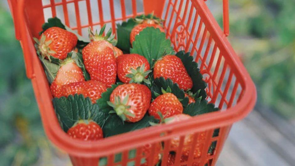 愛知・常滑のイチゴ狩り「タニカワ農園」家族やグループでいかが?