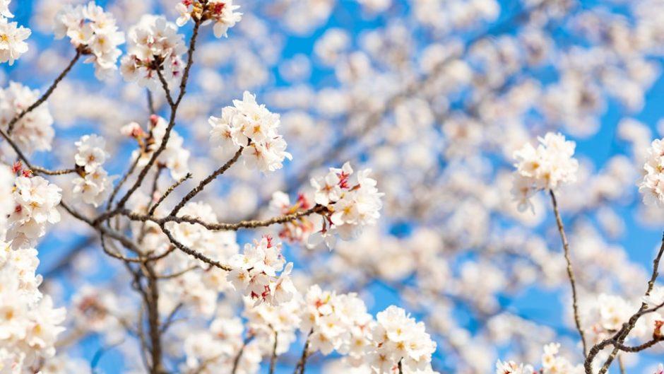 光と音の特別ライブは必見!東海市で「大池公園桜まつり」開催