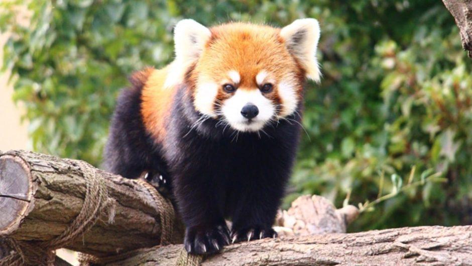 レッサーパンダ風太くんの出身地『静岡市立日本平動物園』をご紹介!