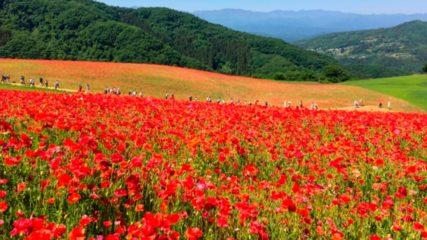 観光農園花ひろば 数々のPVや映画のロケ地としておなじみ!満開の花々に囲まれるスポット