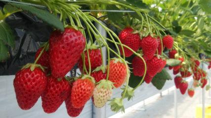 農園のとれたてイチゴをめしあがれ♪「ふる里農園美の関」