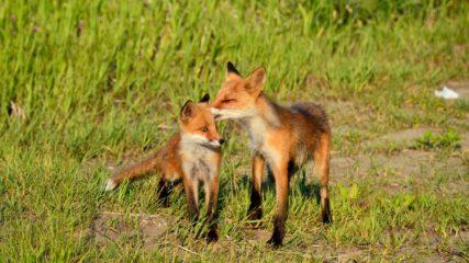 「ごん狐(ごんぎつね)」を生んだ名作家に迫る!愛知県半田市の「新美南吉記念館」