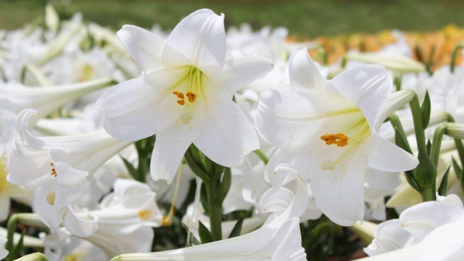 名古屋ドーム約2個分のユリの花に囲まれる♡可睡ゆりの園