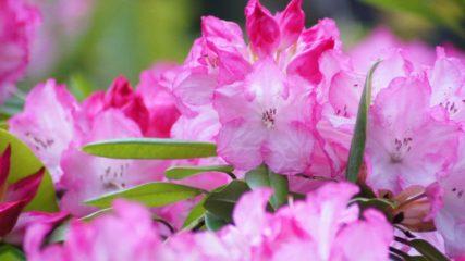 春爛漫!大きく咲き誇るシャクナゲがいっぱい「赤塚シャクナゲガーデン」