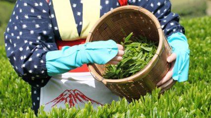 お茶摘み体験に、工場見学、お茶料理も堪能!グリンピア牧之原をご紹介!